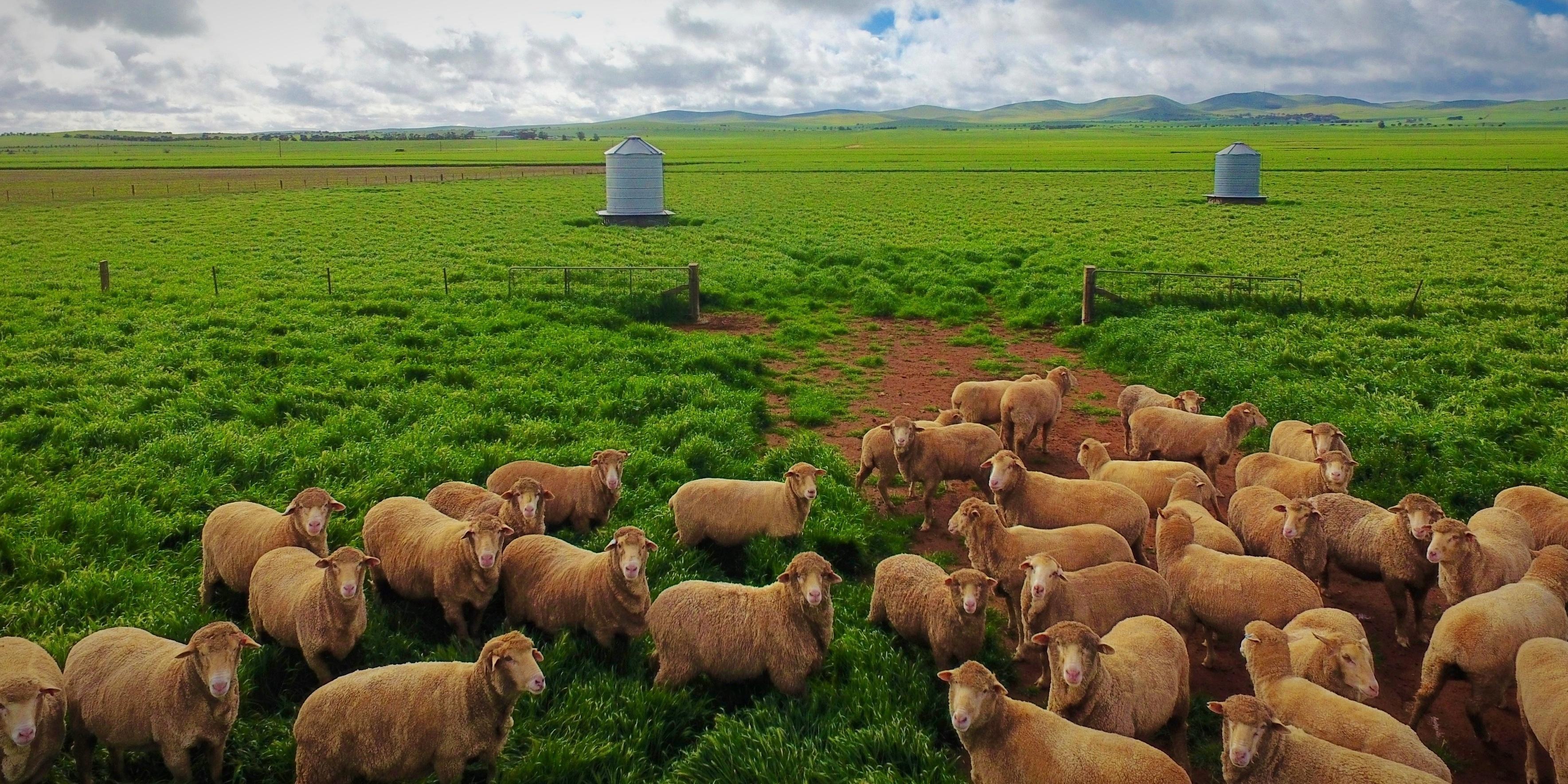 Stud_Park_Sheep-