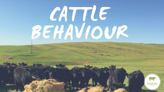 Cattle Bahaviour