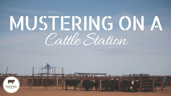 Mustering on a Cattle Station