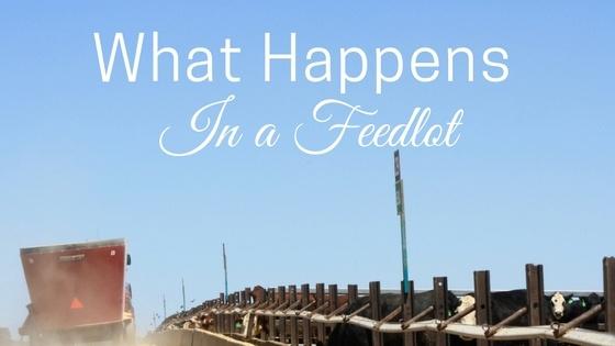What happens in a feedlot.jpg