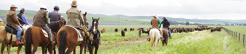 Bush-to-Burra-Cattle-Drive