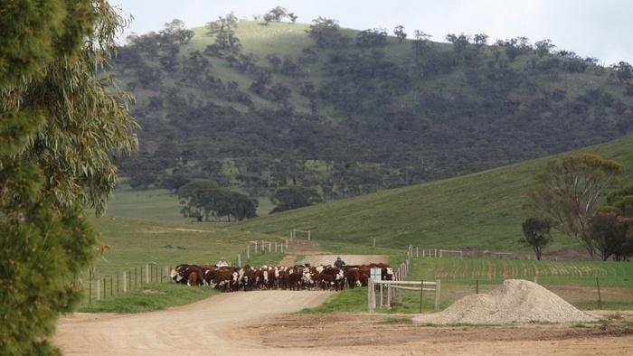 cattle-on-hill.jpg