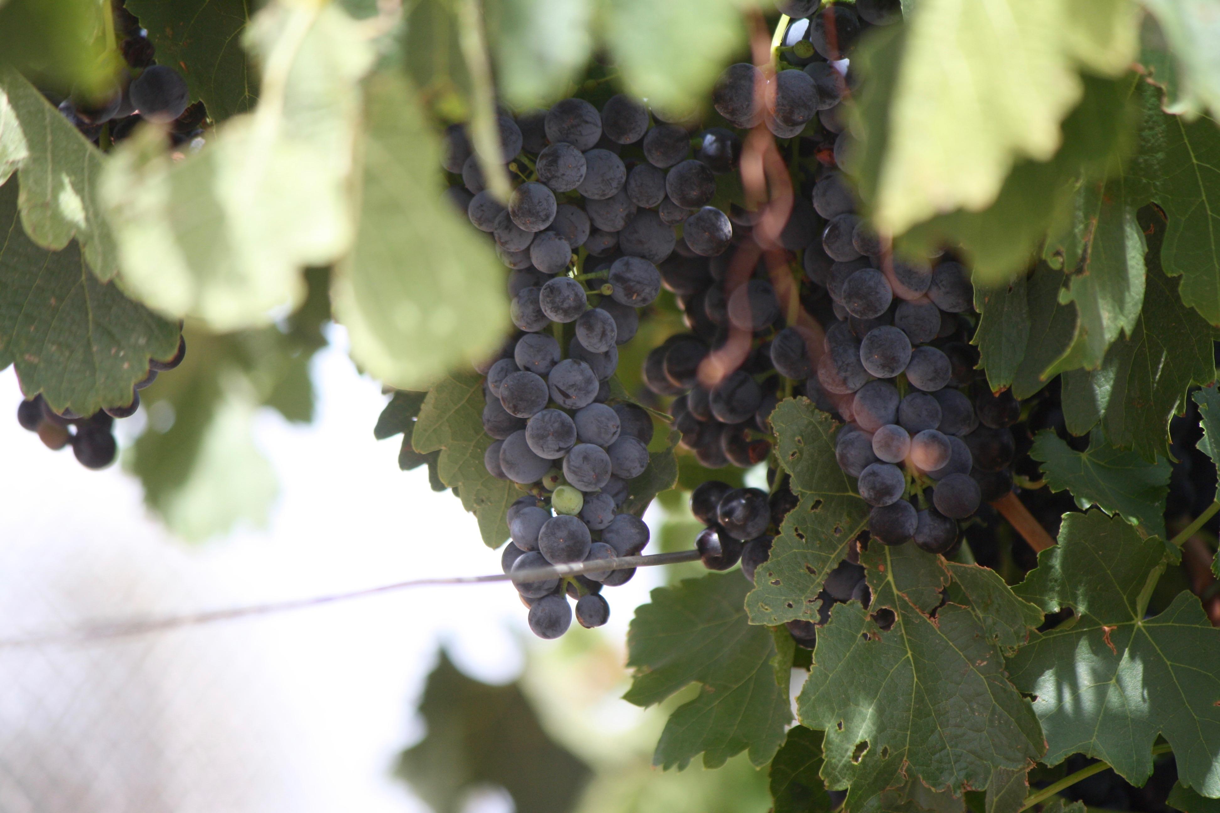 BCW-vine-grapes.jpg