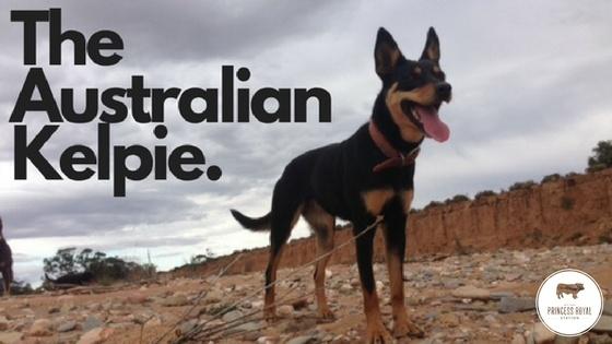 The Australian Kelpie.jpg