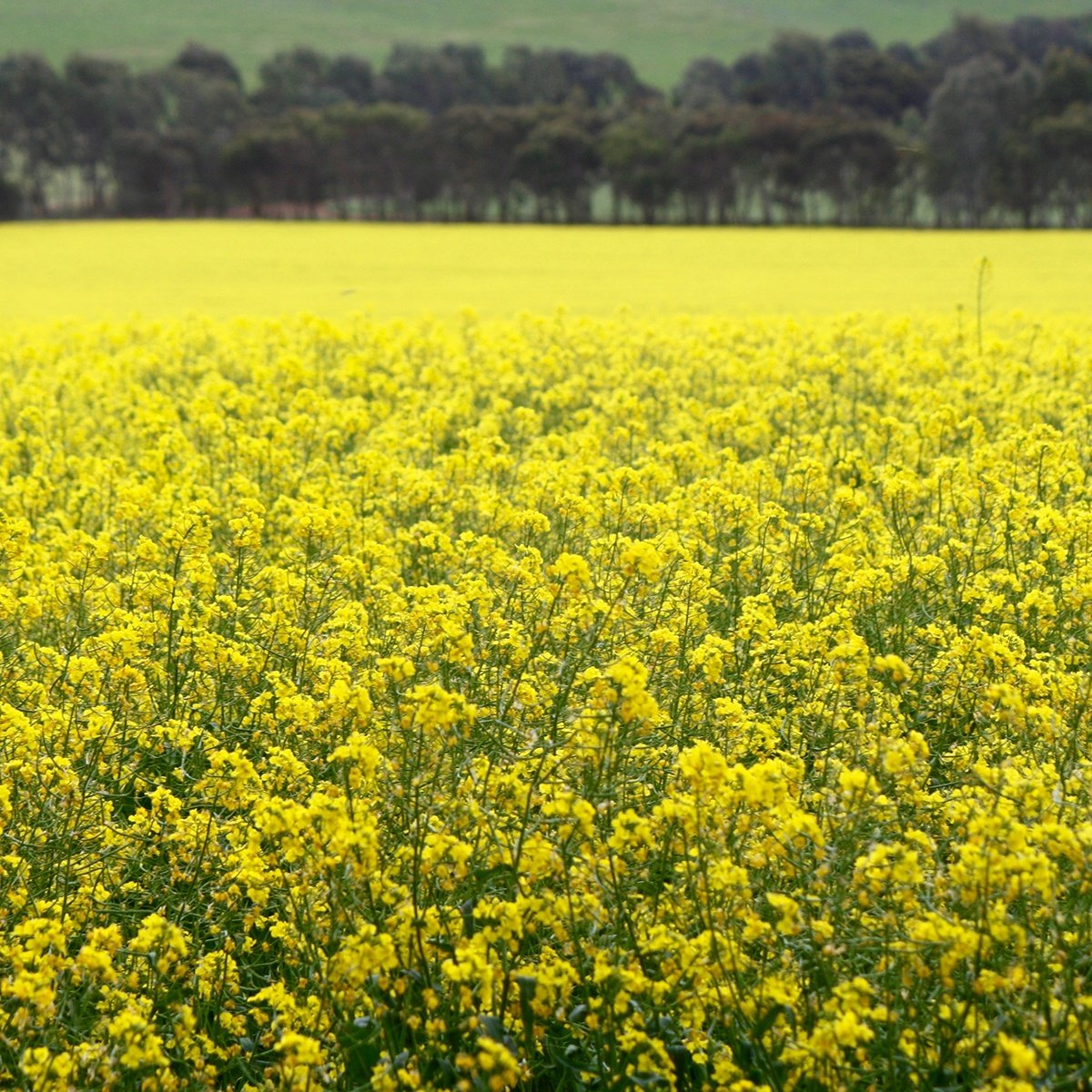 Canola Crop Princess Royal Burra.jpg